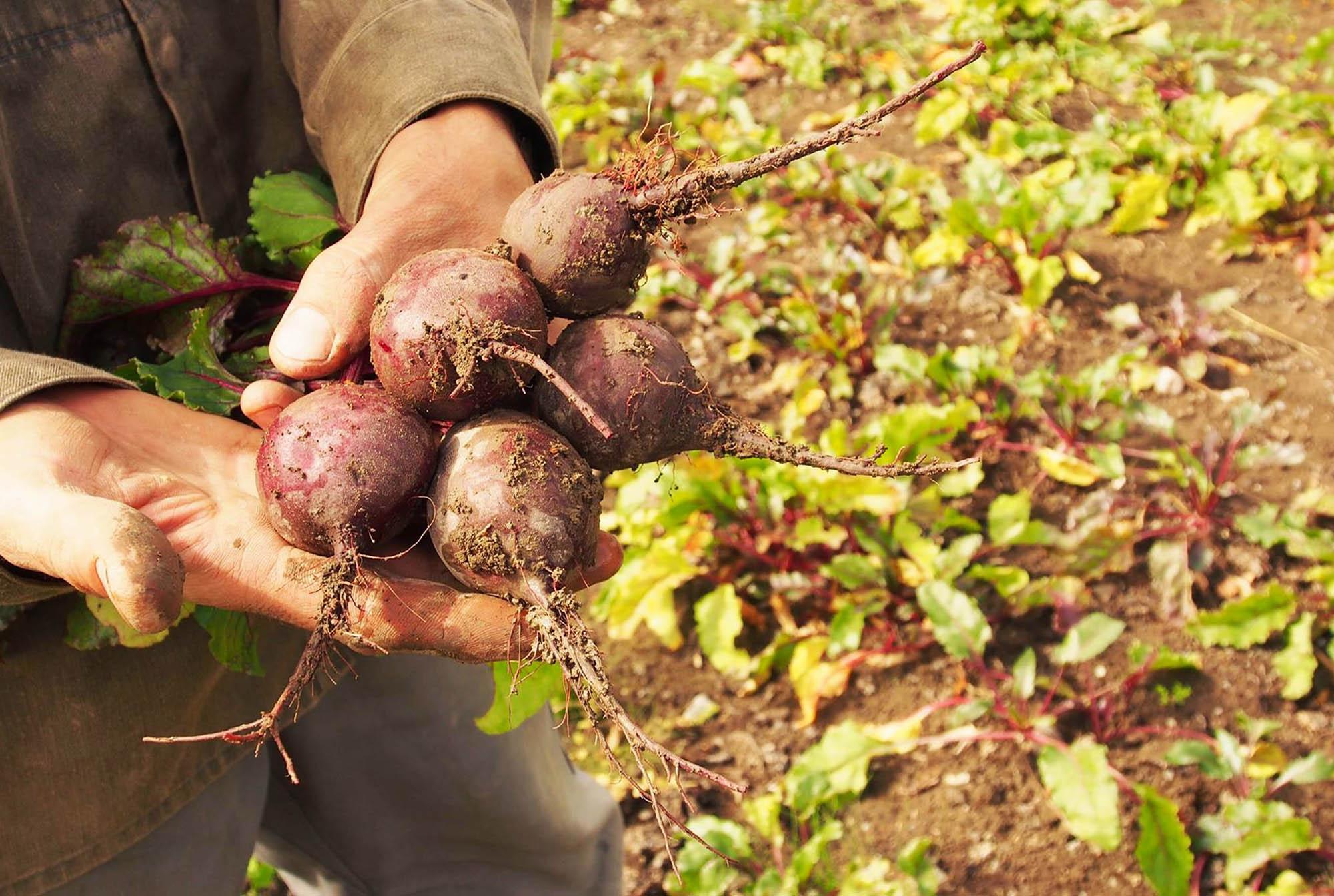 Händer som håller i en knippe rödbetor/Hands holding a bunch of beets