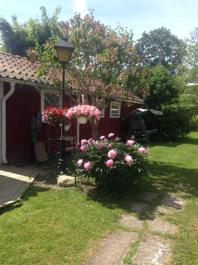 Röd stuga med blombuske framför/ Red cottage with flower bush in front.